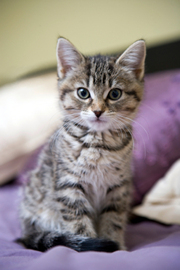Tabby kitten saying hello